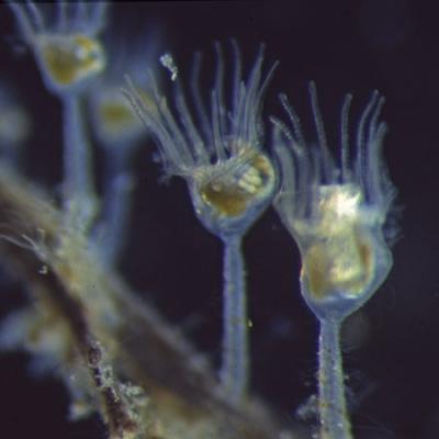 Les entoproctes = kamptozoaires